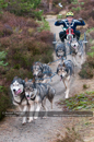 Class B dog sled racing team